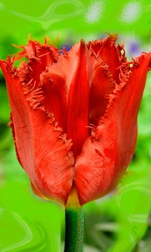 Tulip-Pasifik-Perl
