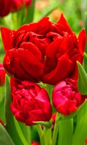 Tulip-Robinho