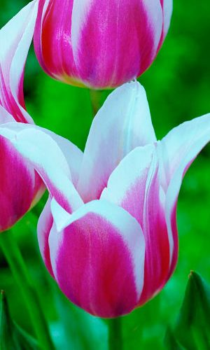 Tulip-Shakespeare1