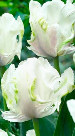 Tulip-White-Parrot
