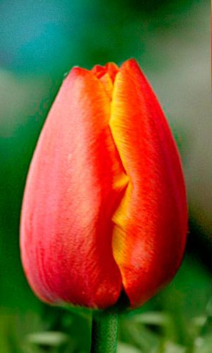 Tulip-Worlds-Favourite
