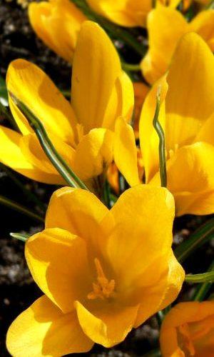 crocus-Grote-Gele