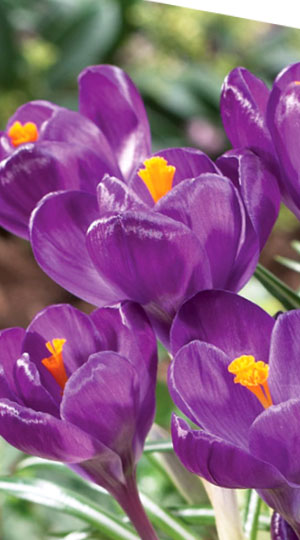 crocus-flower-record