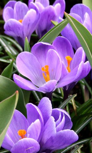 crocus-grand-maitre