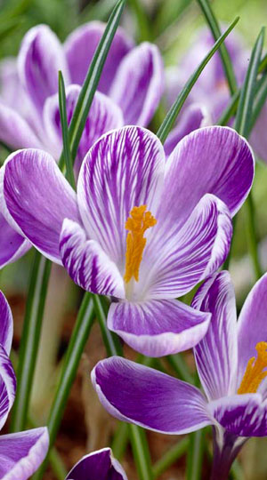 crocus-king-of-the-striped