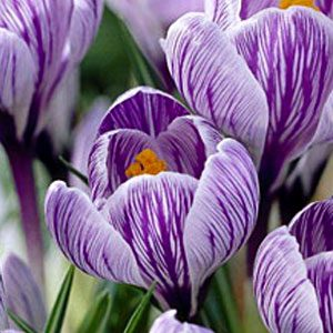 crocus-pickwick