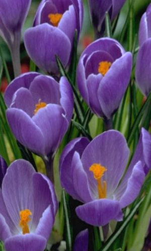 crocus-remembrance