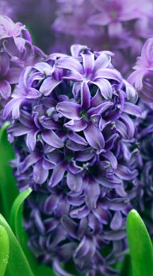 Hyacinth - aida