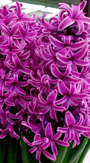 hyacinth-Paul-Hermann