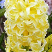 hyacinth-Yellow-Queen