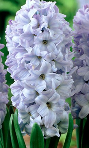 hyacinth-blue-eyes