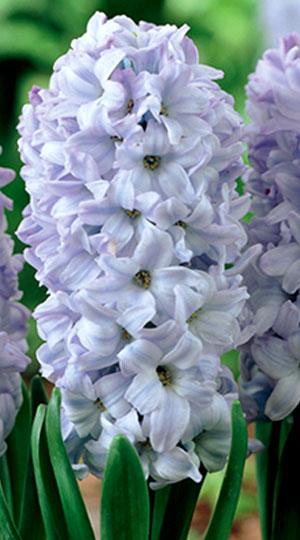 hyacinth-blue-eyes