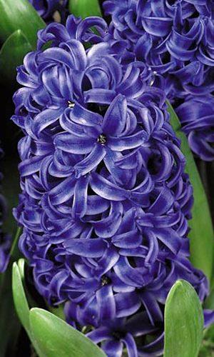 hyacinth-blue-pearl