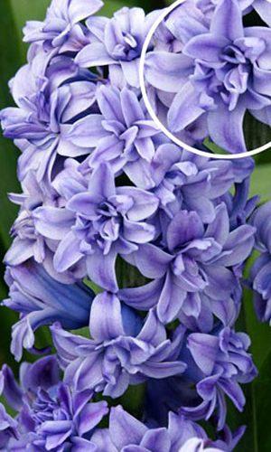 hyacinth-blue-tango3