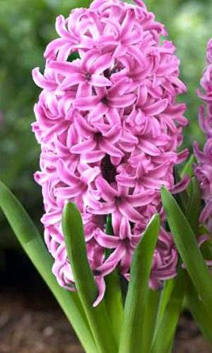hyacinth-pink-pearl