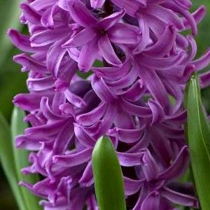 hyacinth-purple-sensation