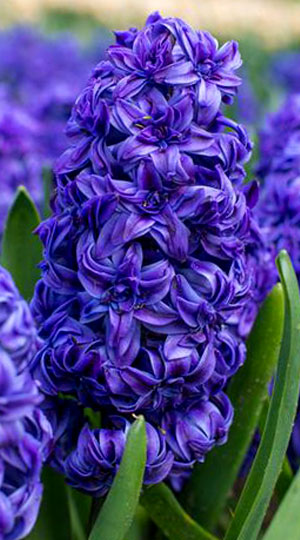 hyacinth-royal-navy