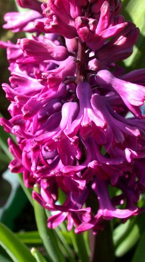hyacinth-woodstock
