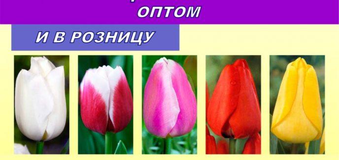 lukovitsy-tyul-panov-optom