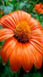 Sunflower-decorative-meksikanskiy-titoniya