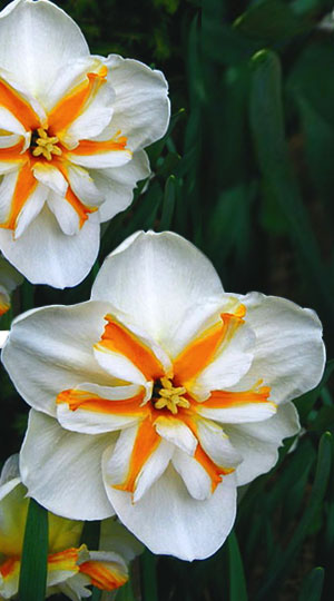 narcissus-dolly-mollinger