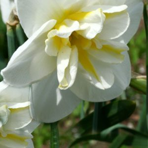 narcissus-lemon-beauty