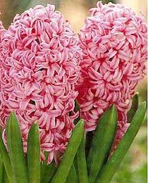 Hyacinth-Anna-Marie