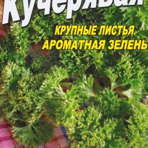 Parsley-kudryavaya