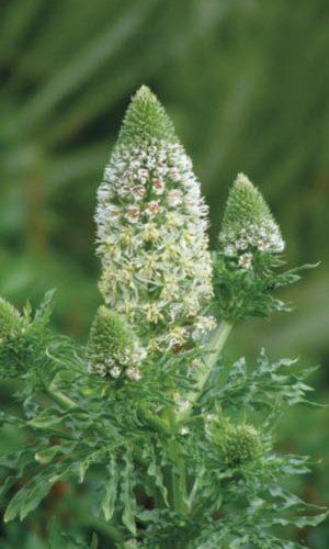 mignonette-flower-dushistaya