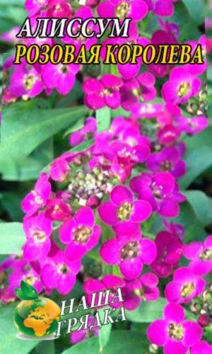 rozovaya-koroleva-alissum