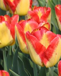 tulip-Cape-Town