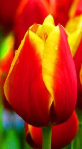 tulip-Kees-Nelis-e1493030527366