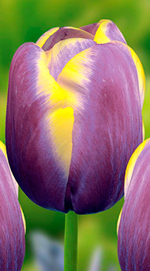 tulip-arabian-beauty