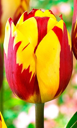tulip-helmar
