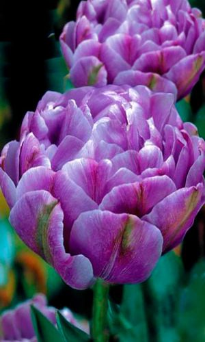 tulip-lilac-perfection