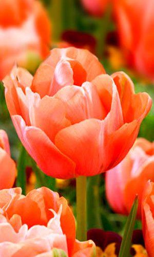 tulip-menton-exotic