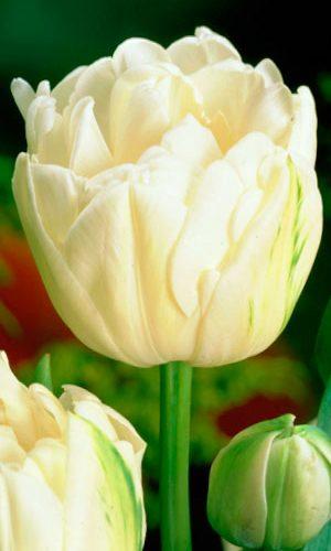tulip-moun-tacoma