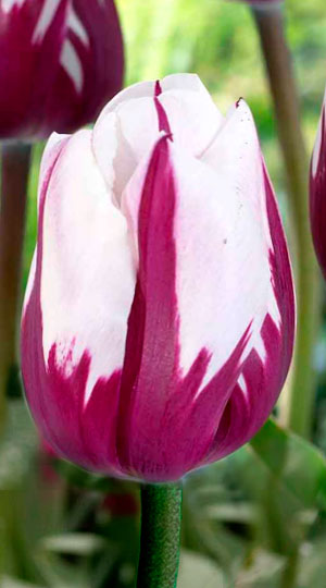 tulip-zurel