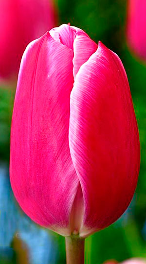 tulipa-Andorra