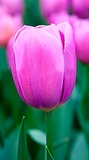 tulipa-Ozon-1