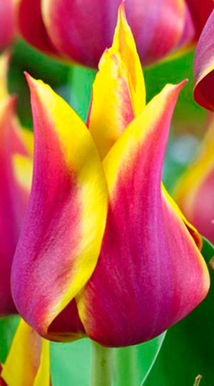 tulipa-Sonnet