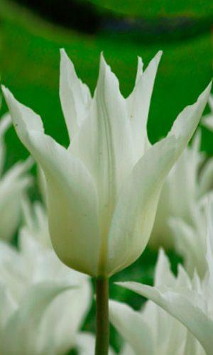 tulipa-White-Elegance