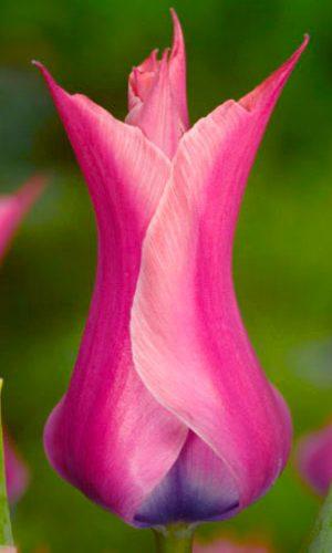 tulipa-Yonina