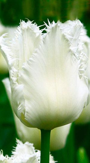 tulipa-daytona