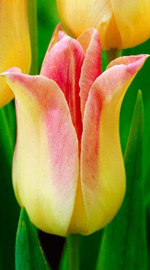 tulipa-elegant-lady