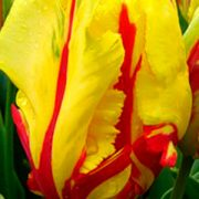 tulipa-flaming-parrot
