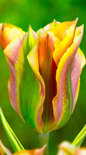 tulipa-green-river