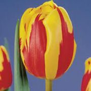 tulipa-holland-queen