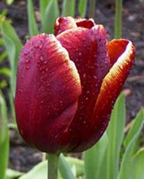 tulipa_abu_hassan254