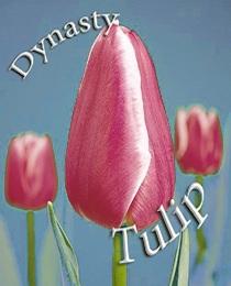 tyulpan-dinastiya111